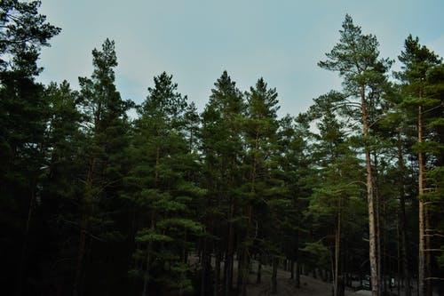 gatunek drzewa sosna